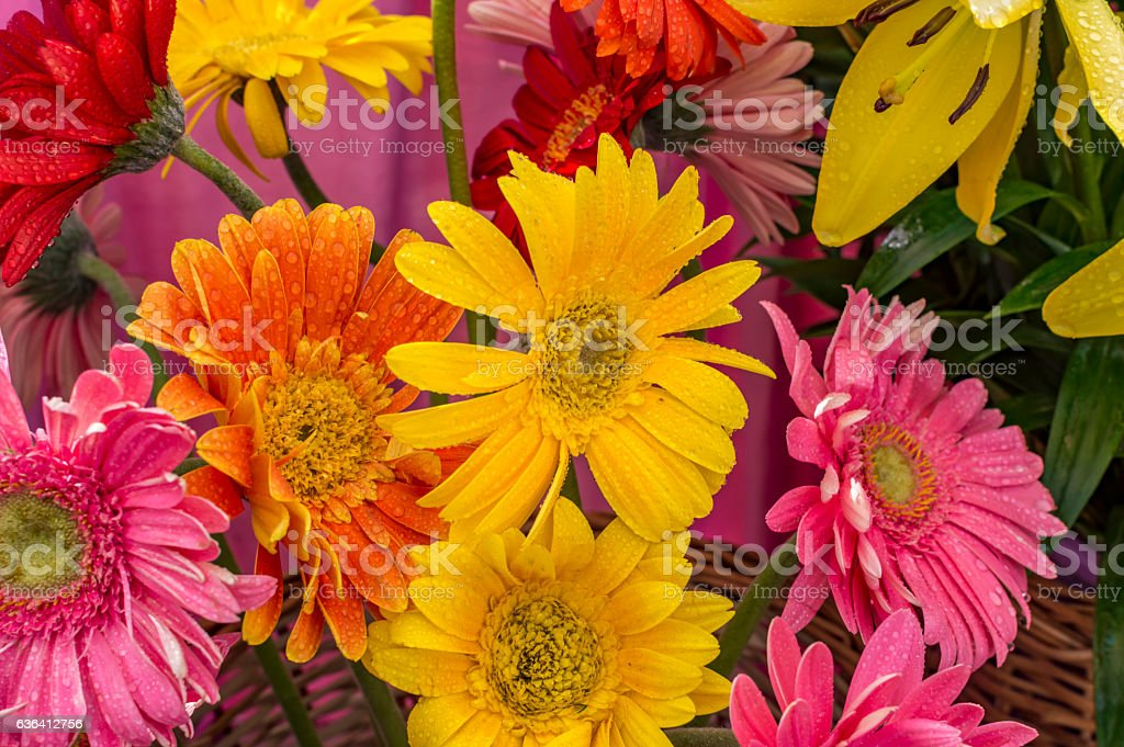 Mixed gerbera flowers with water drops stock photo