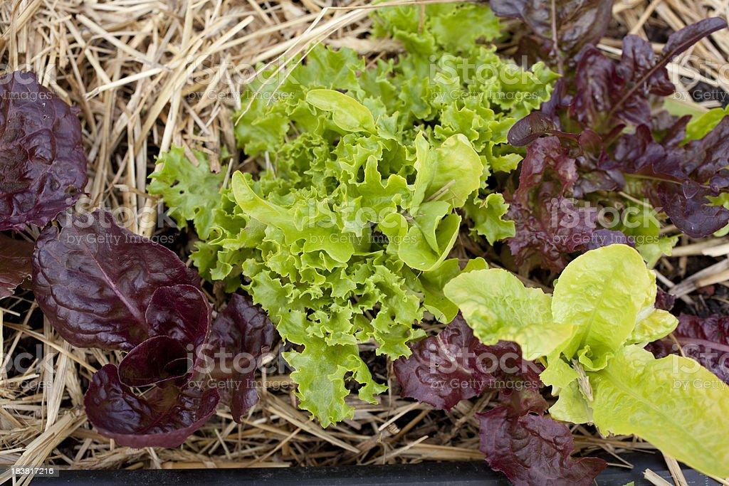 Mixed Green Lettuce stock photo