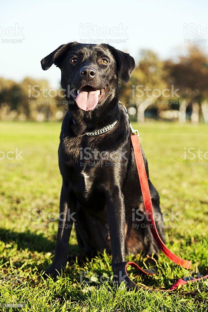 Mixed Labrador Dog Portrait at the Park royalty-free stock photo