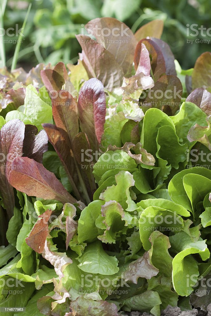 Mixed Lettuce Greens in Garden royalty-free stock photo