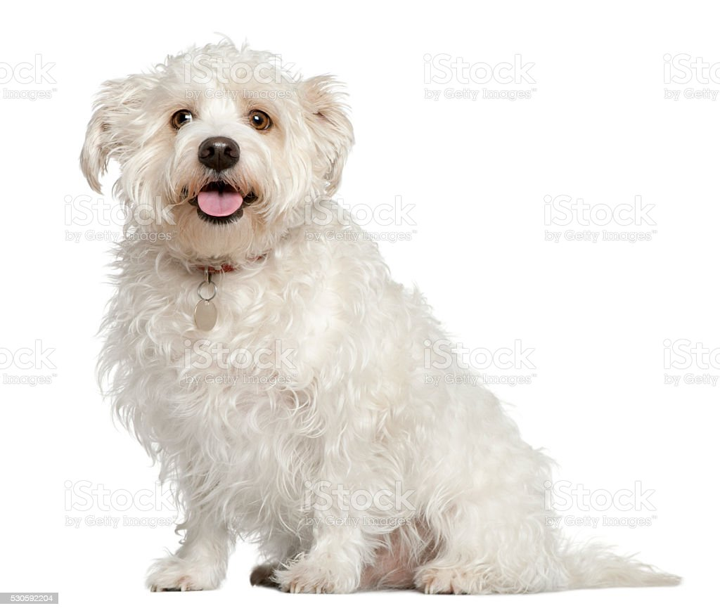 Mixed Maltese dog, 4 years old, sitting stock photo