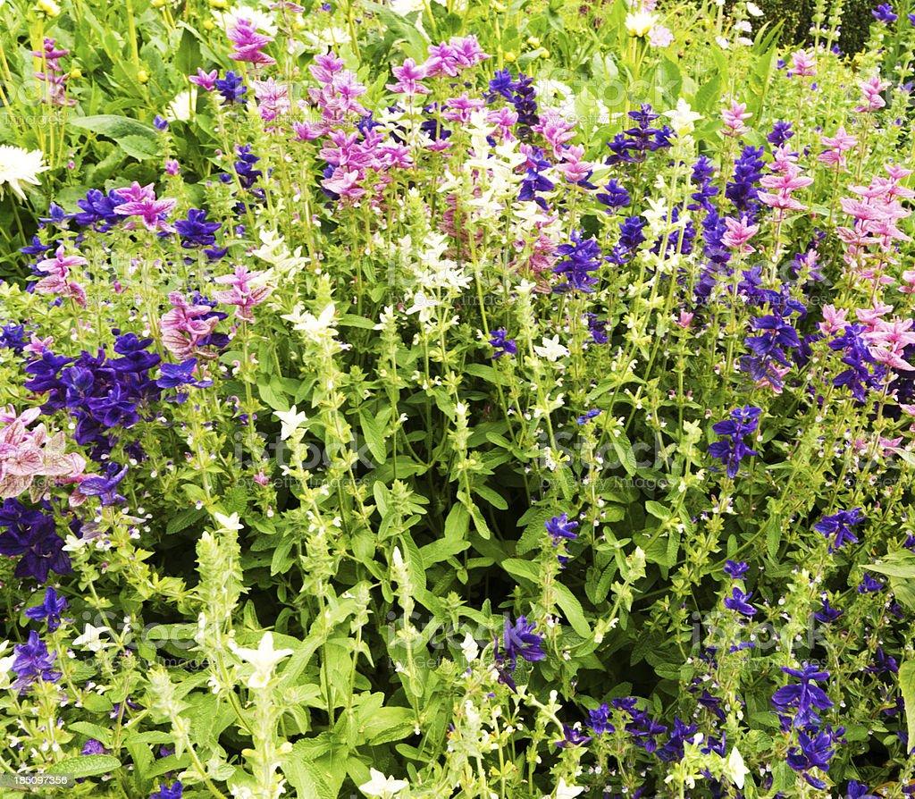 Mixed Salvia stock photo