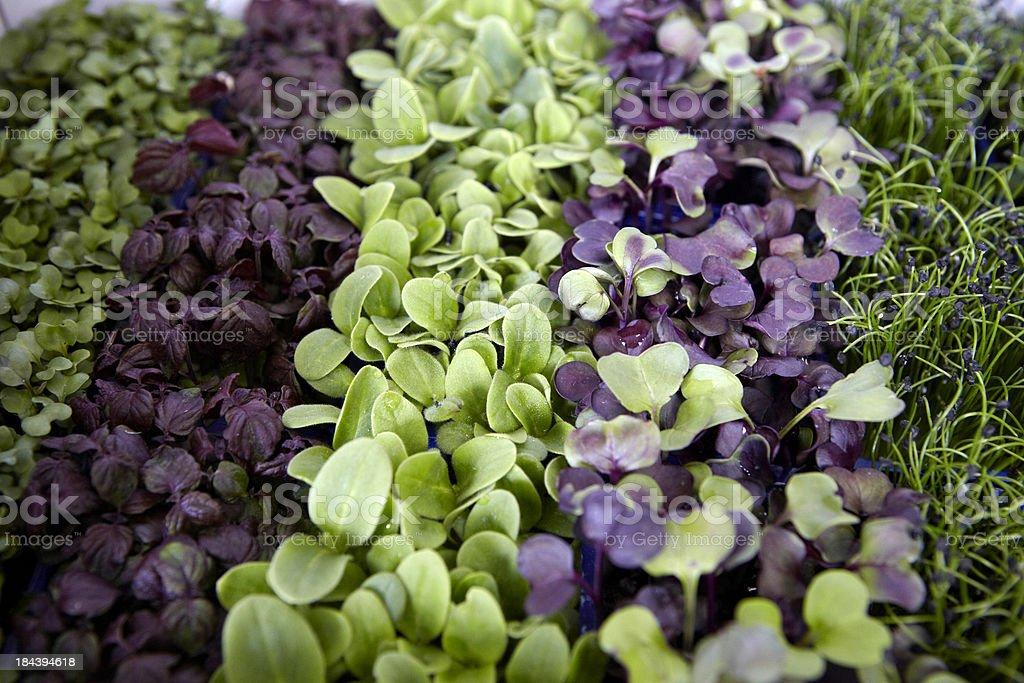 Mixed Water Cress royalty-free stock photo