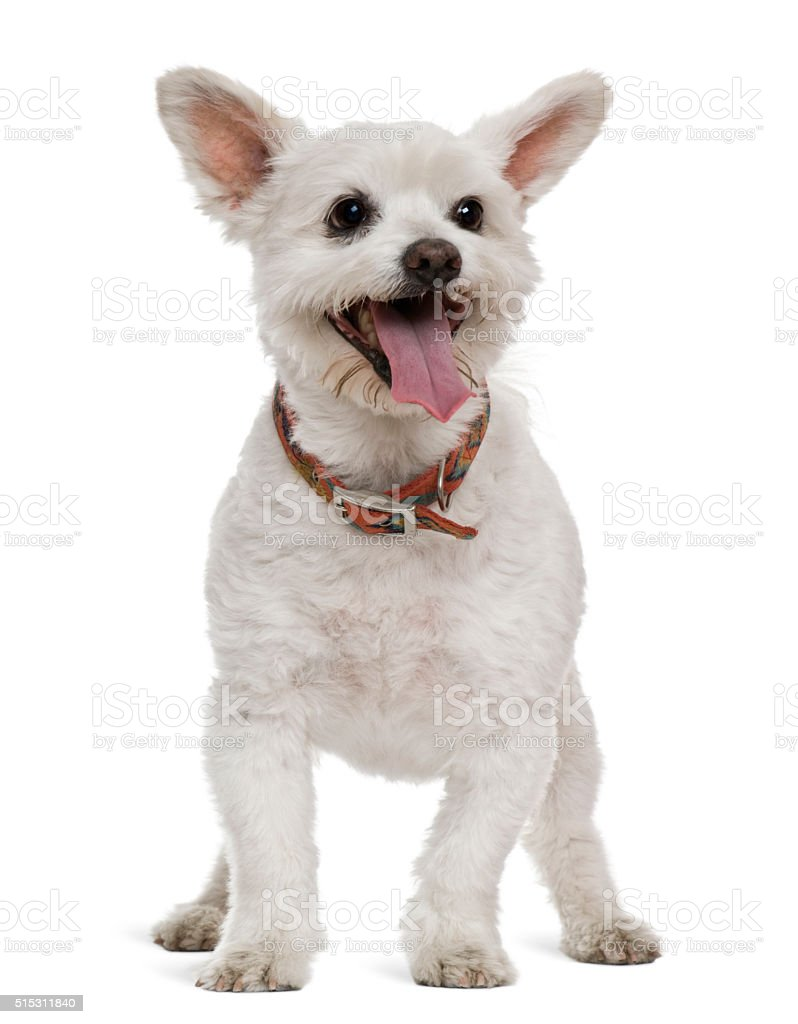 Mixed-breed, 16 years old, in front of white background stock photo