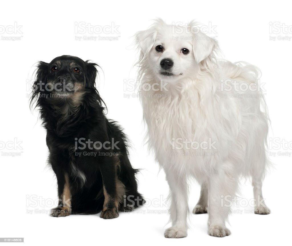 Mixed-breed, 3 and 6 years old, sitting stock photo