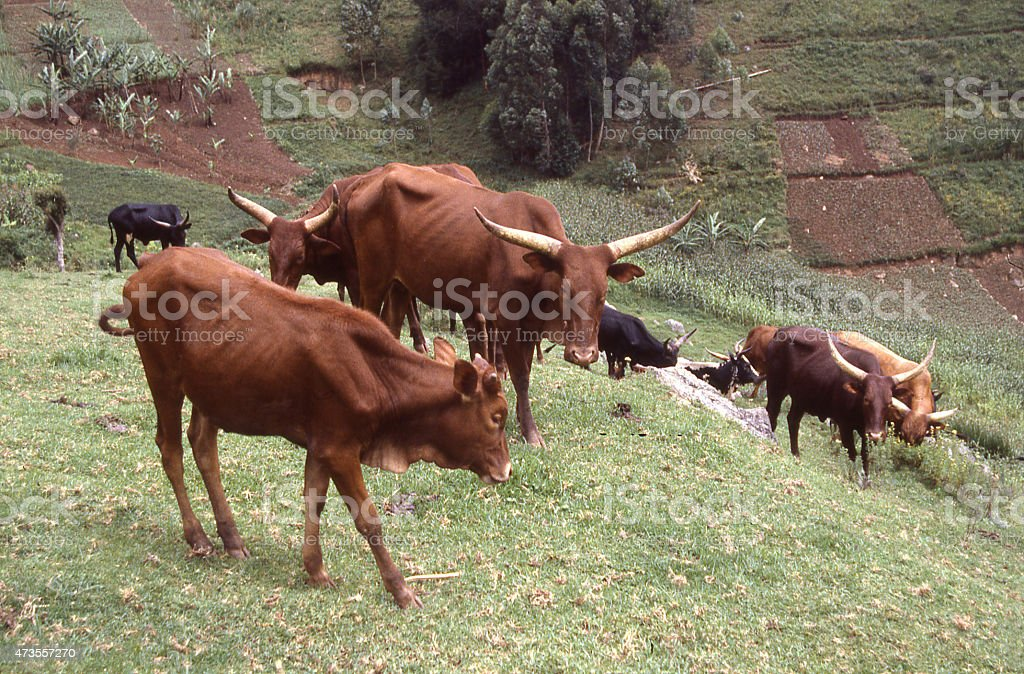 Mixed-breed Ankole and Jersey Cattle Rwanda Central Africa stock photo