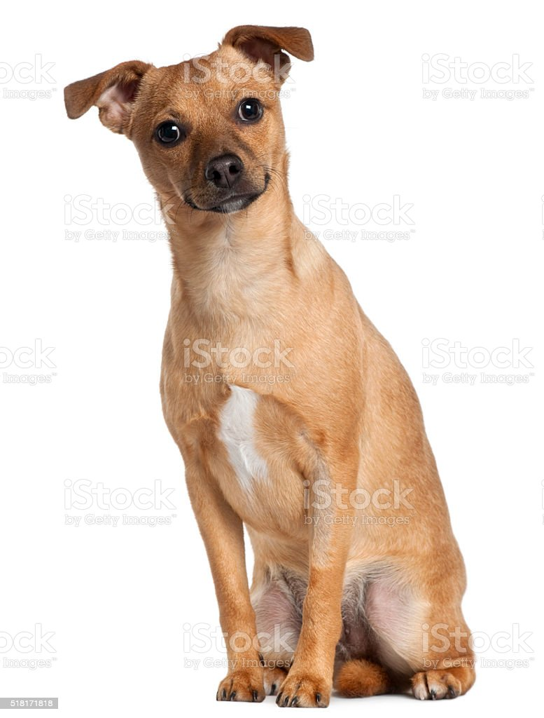 Mixed-breed dog, 7 months old, sitting stock photo