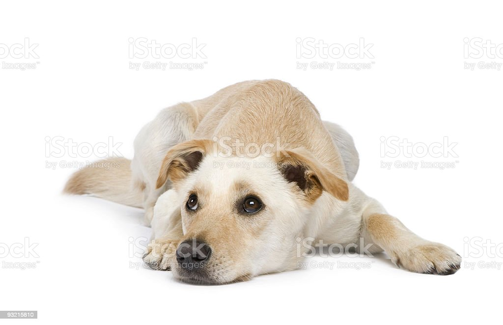 Mixed-Breed Dog (18 months) royalty-free stock photo
