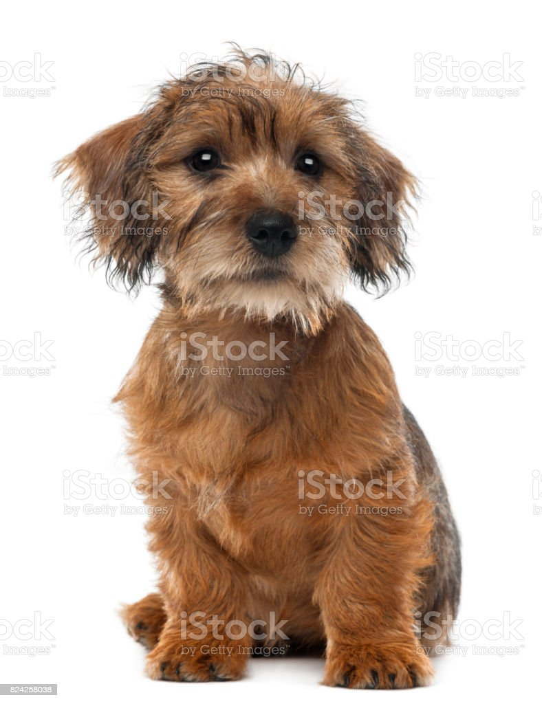 Mixed-breed dog puppy, 3 months old, sitting and looking away against white background stock photo