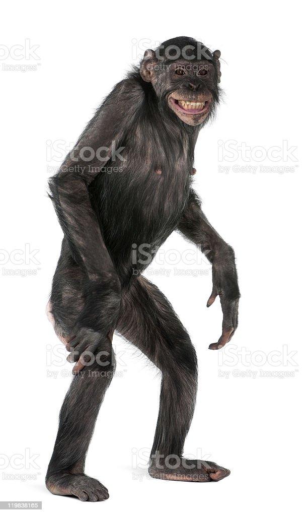 Mixed-Breed monkey between Chimpanzee and Bonobo, standing, white background. stock photo