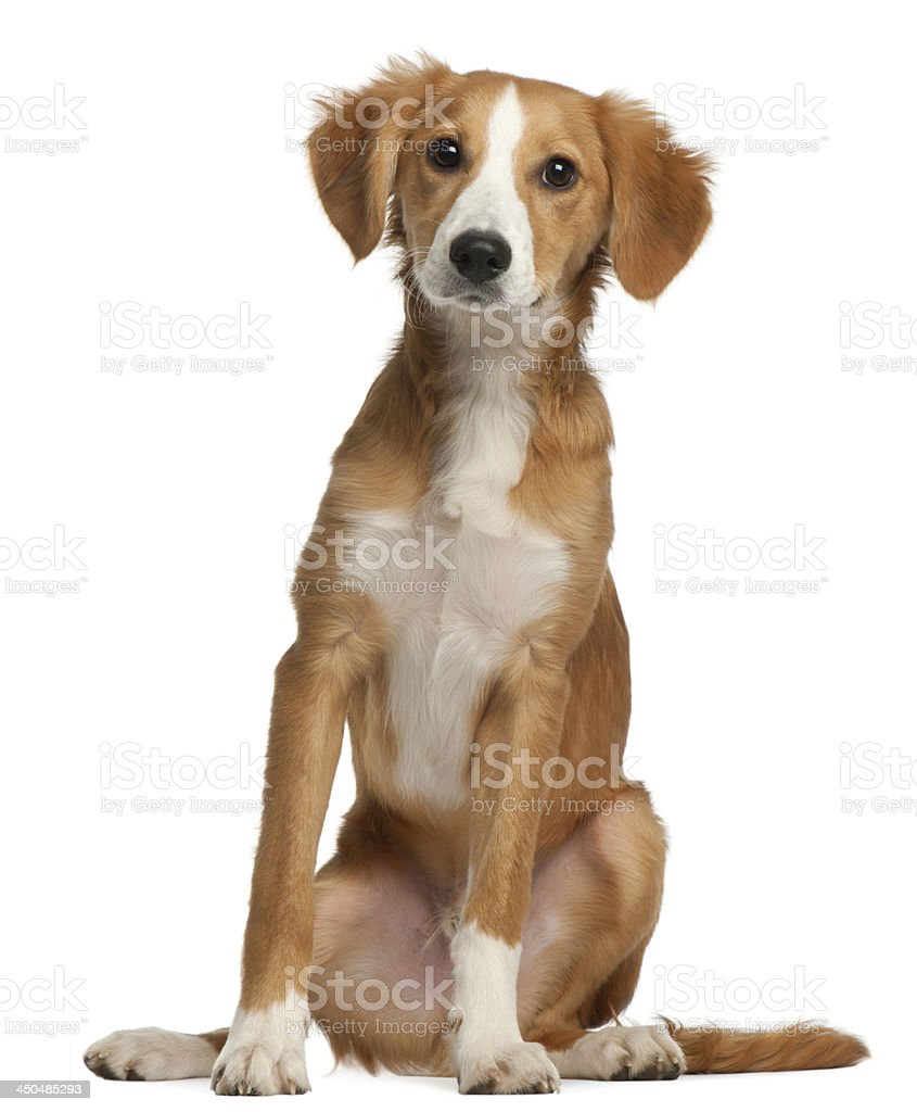 Mixed-breed puppy, 4 months old stock photo