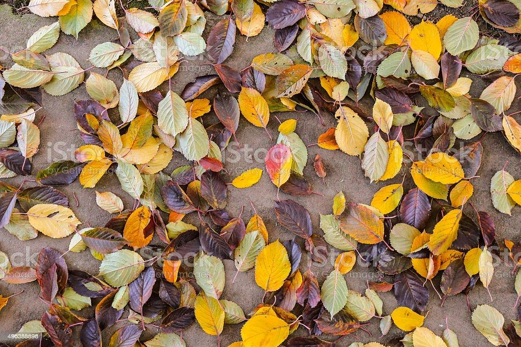 Mixture of fallen Autumn cherry leaves stock photo