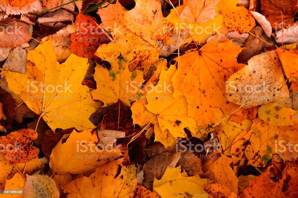 Mixture of golden fallen Autumn leaves stock photo