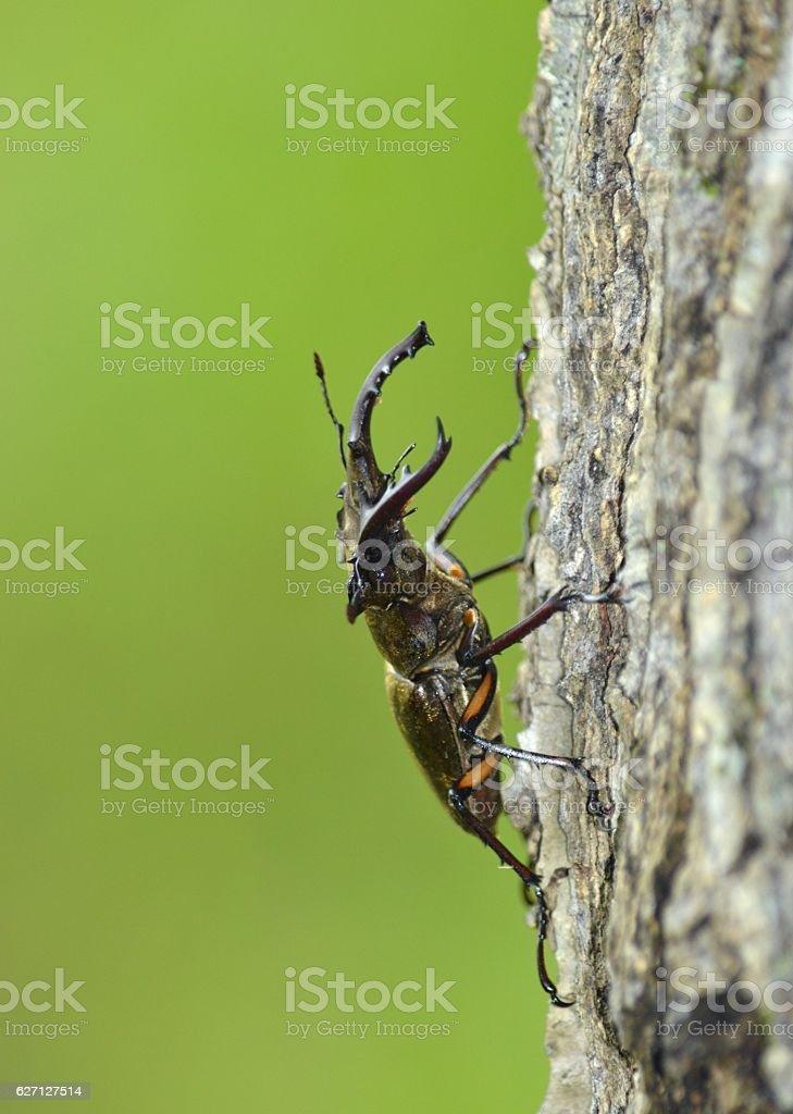Miyama Stag Beetle stock photo