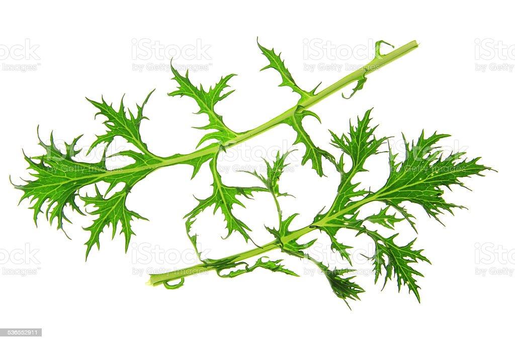 Mizuna (Brassica rapa var. nipposinica) stock photo