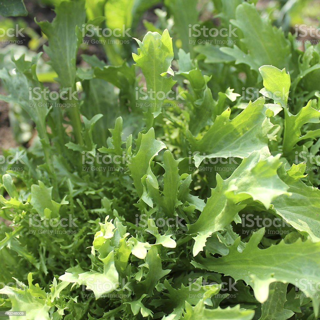 Mizuna plant stock photo