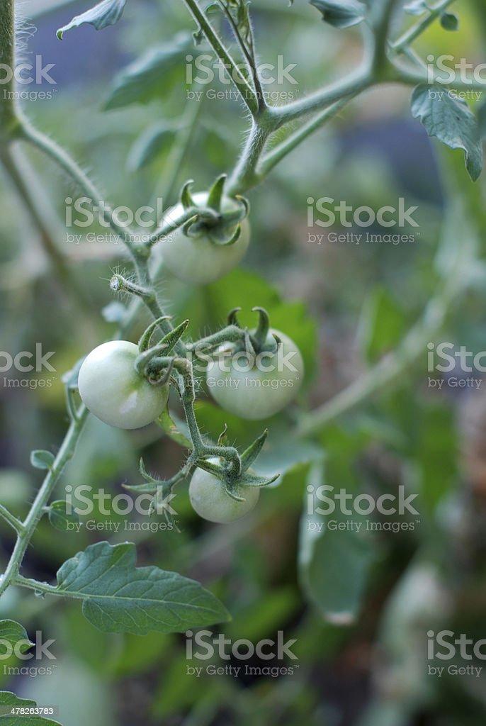 mmature tomatoes royalty-free stock photo