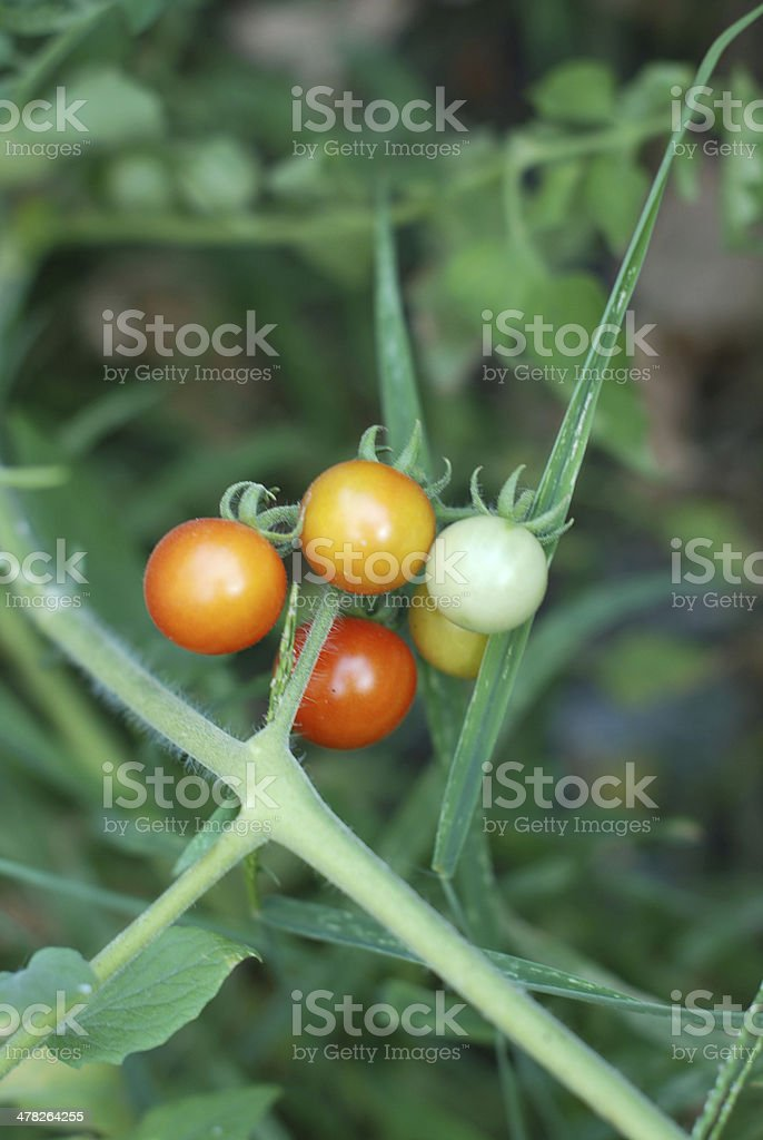 mmature tomatoes royalty-free stock photo