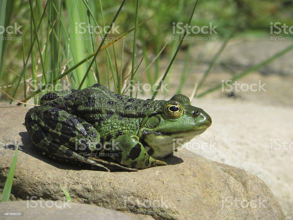 M?nnlicher Wasserfrosch in der Natur stock photo