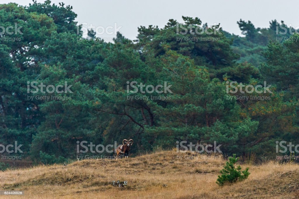 Männliches Mufflon auf einem Hügel stock photo
