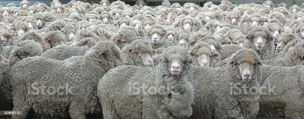 Mob of Gray Wooly Sheep Looking Towards the Viewer stock photo