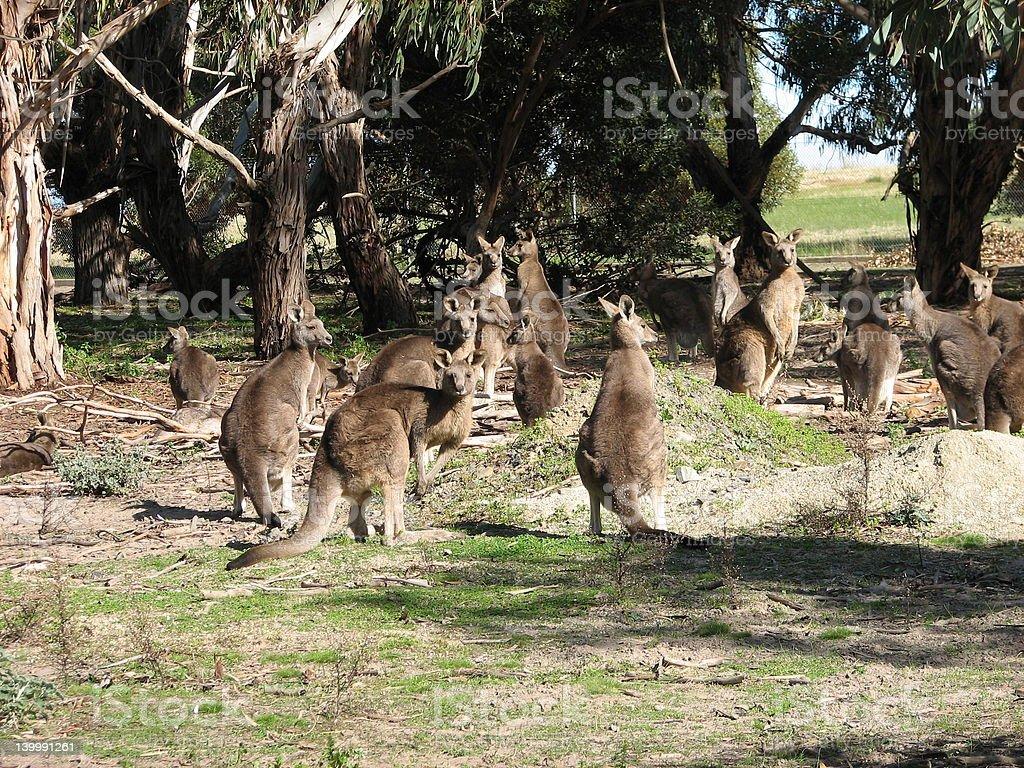 mob of kangaroos royalty-free stock photo
