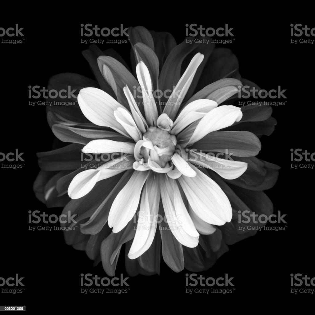 Mochrome dahlia isolated on black background stock photo