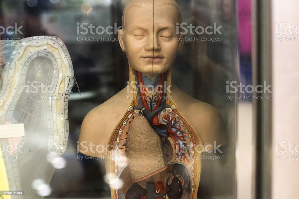 model anatomy in showcase. stock photo
