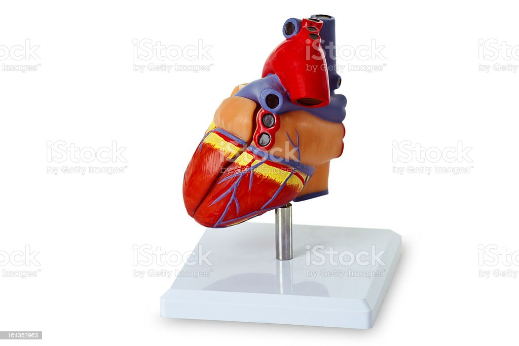 Model heart for medical demonstration royalty-free stock photo