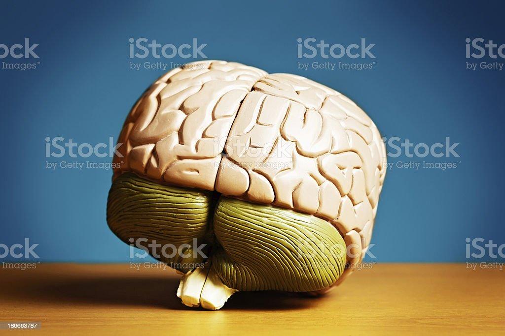 Model human brain showing cerebellum, medulla oblongata and stem stock photo