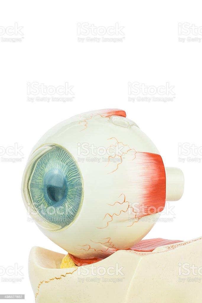 Model human eye isolated on white background stock photo
