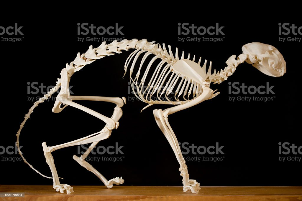 Model of a cat skeleton on display royalty-free stock photo