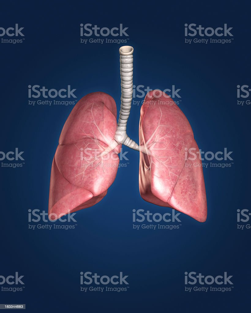 Lungs isolated on blue background stock photo