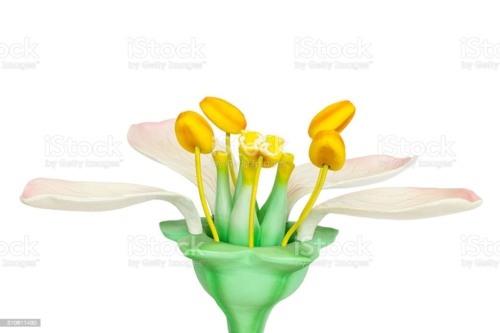 Model of flower with stamens and pistils on white background stock photo