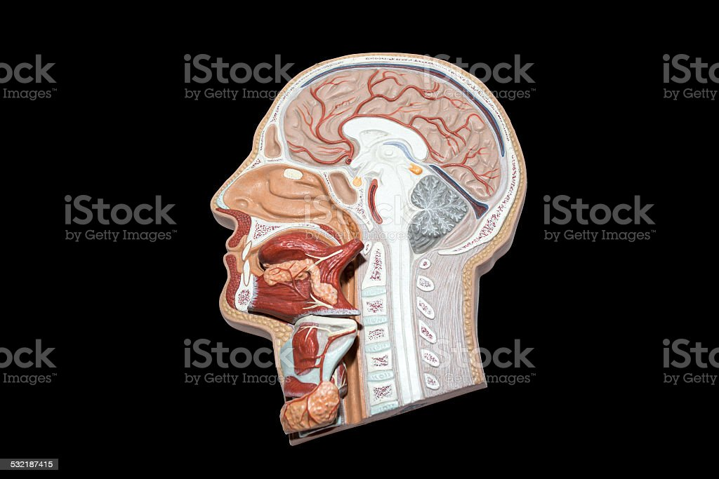 Model of human head and neck for study isolated stock photo