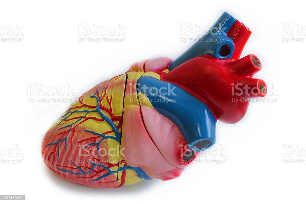 Model of human heart stock photo