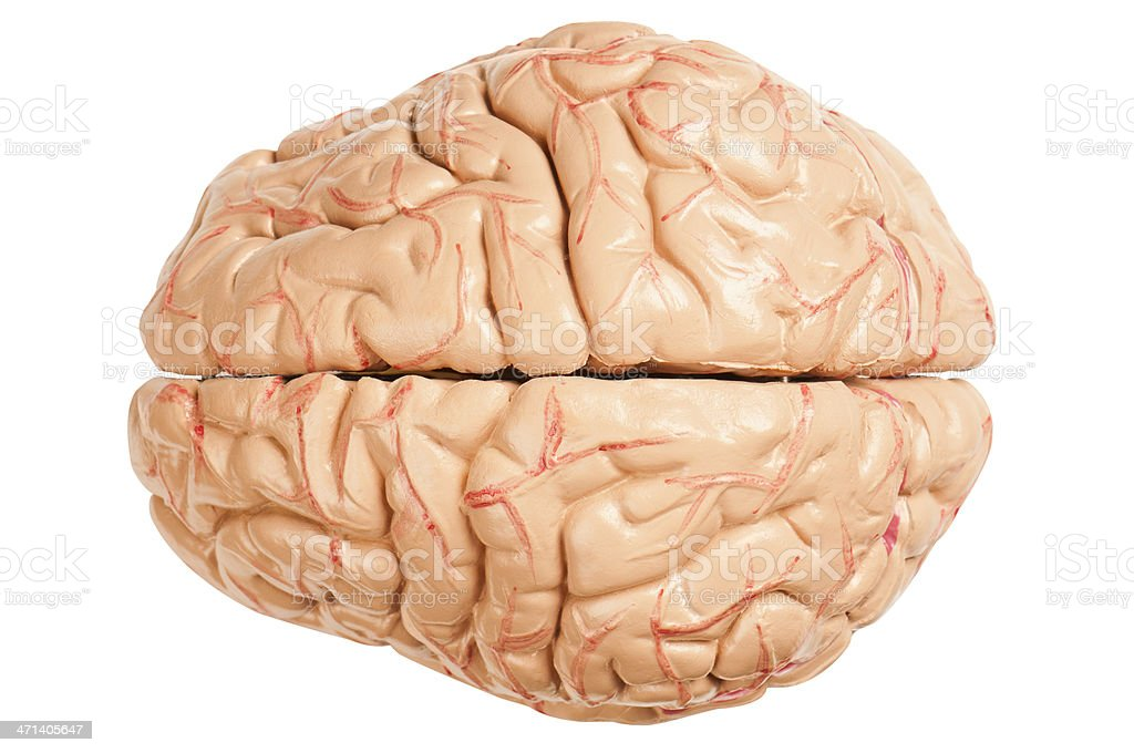 Model of the human brain, blood vessels and tissue stock photo