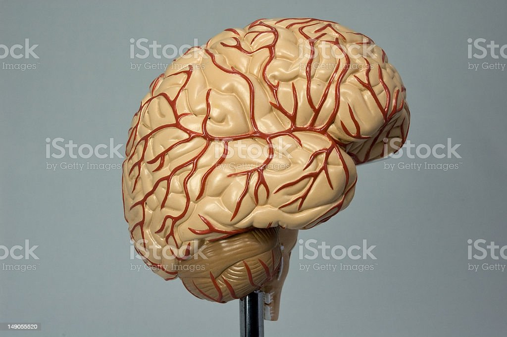 Model of the human brain II stock photo