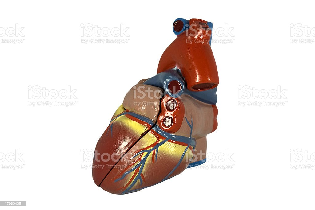 Model of the human heart II isolated on white stock photo