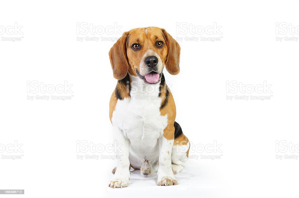 Model shot of young beagle dog stock photo