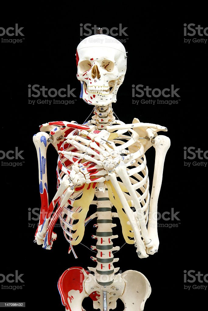 Model skeleton in a sensitive pose, front view stock photo