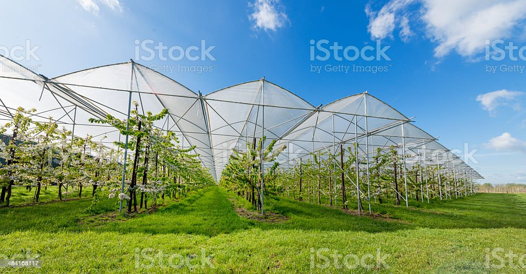 Modern ochers,apple blossoms in full bloom. stock photo
