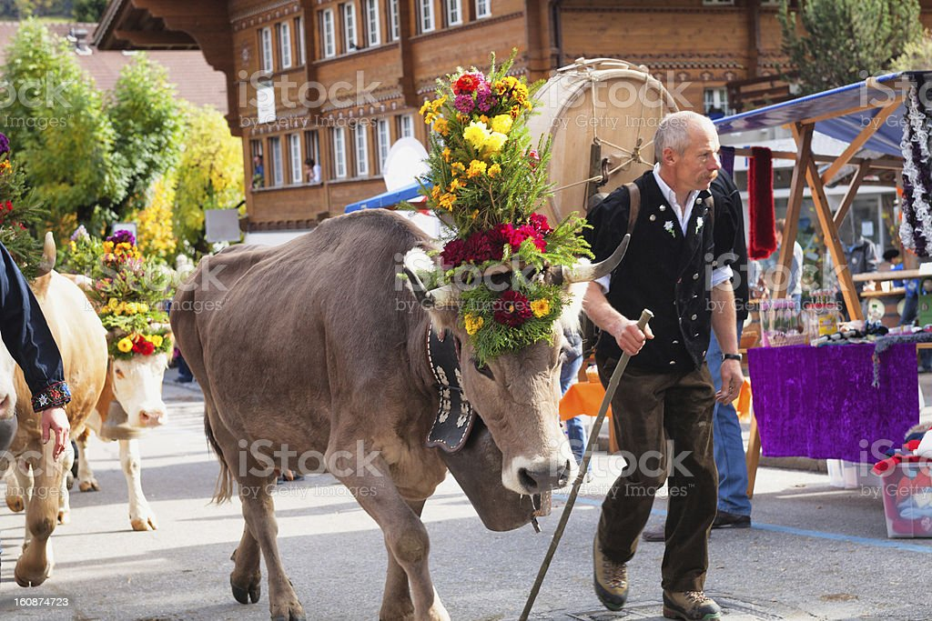 Modern Swiss Farmer leading his cows in harvest festival royalty-free stock photo