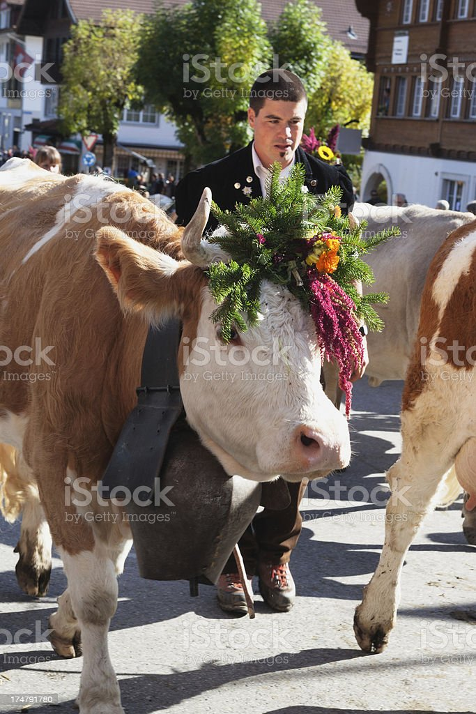 Modern Young Farmer leads Simmental Cow in Lenker Aelplerfest royalty-free stock photo