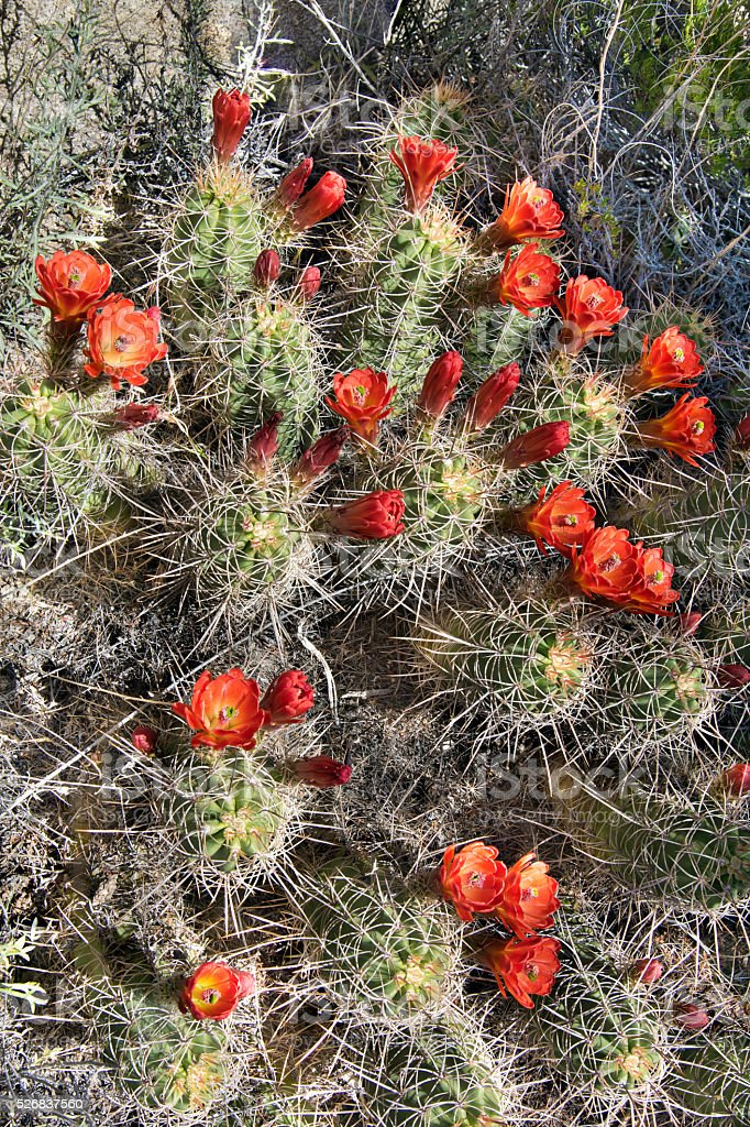 Mohave Mound Cactus with Many Blooms stock photo