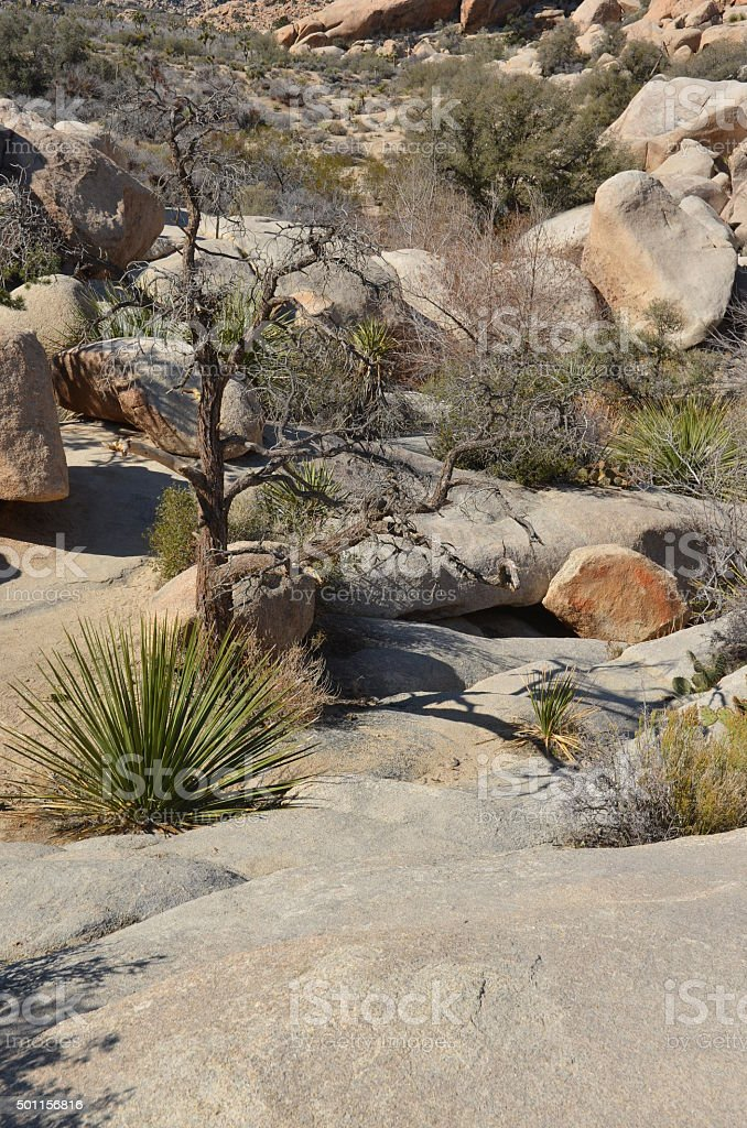 Mohave Yucca in Joshua Tree National Park, California royalty-free stock photo