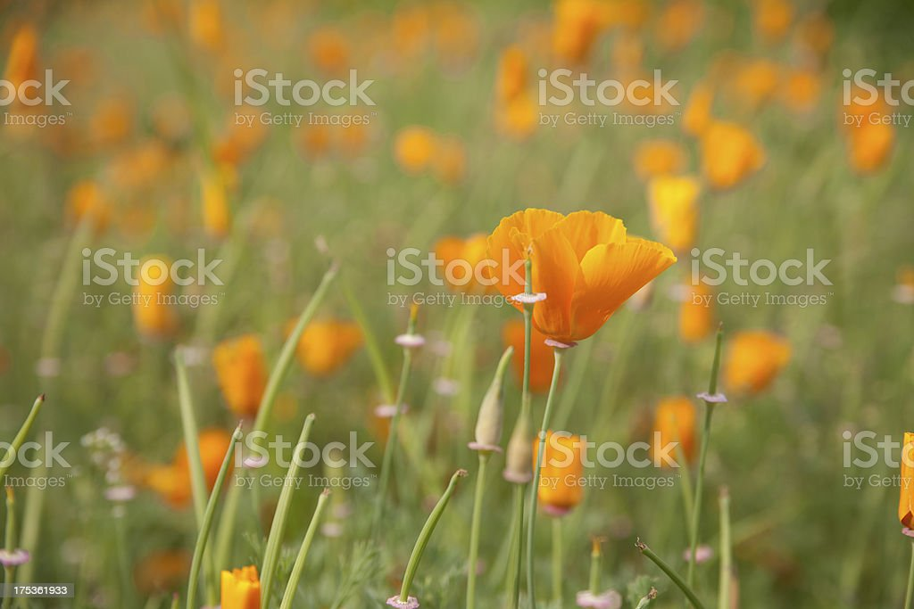 Mohnblumenfeld royalty-free stock photo