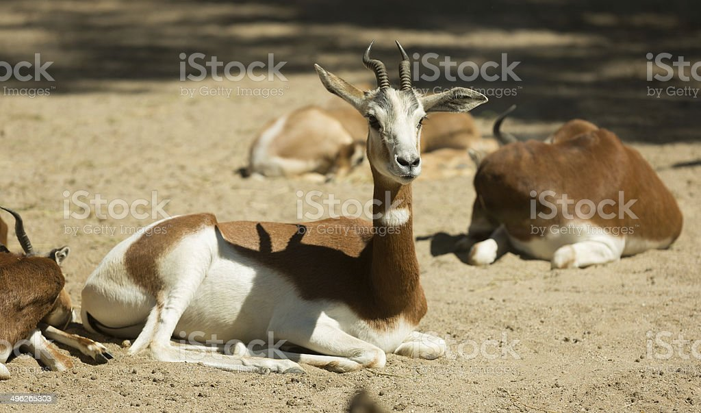 mohor gazelles  on sand stock photo