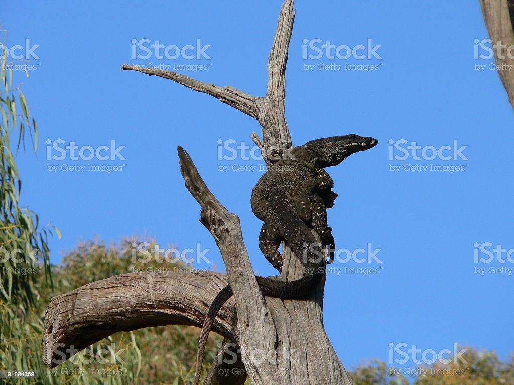 mointor lizard stock photo
