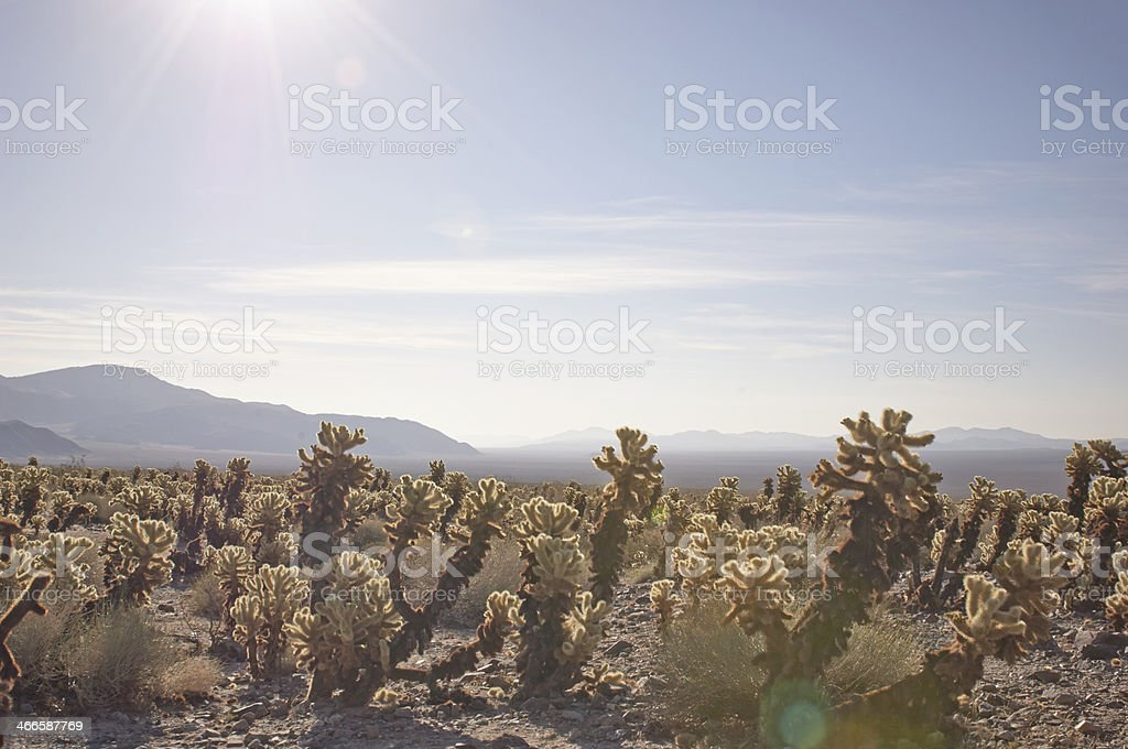 Mojave Desert cactus at sunrise royalty-free stock photo